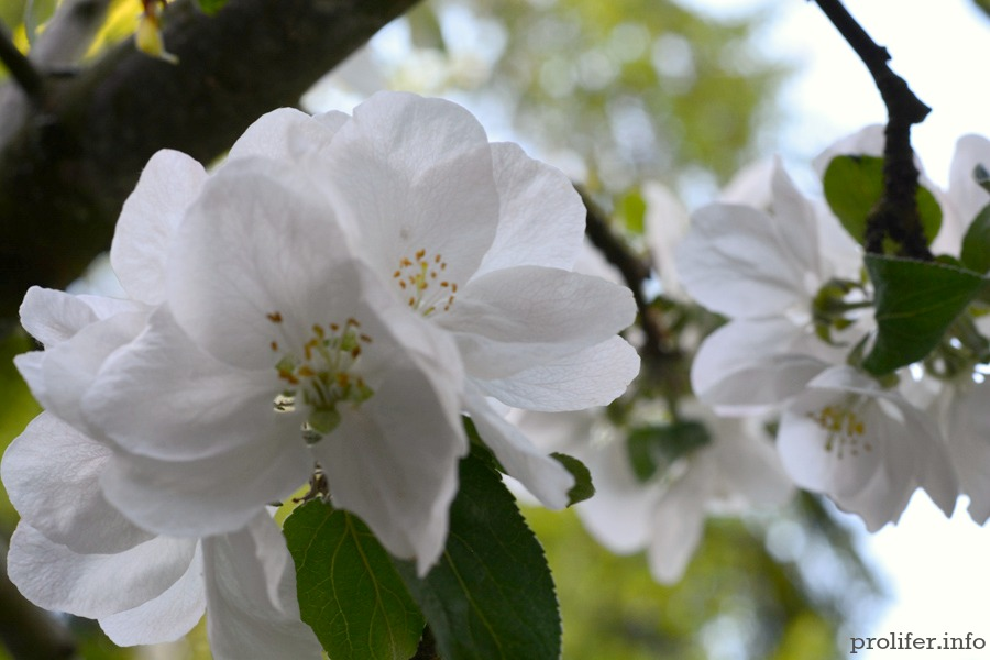 Apple-blossom-10
