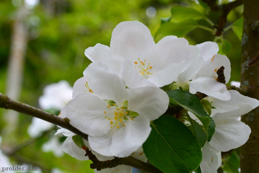 Apple-blossom-2